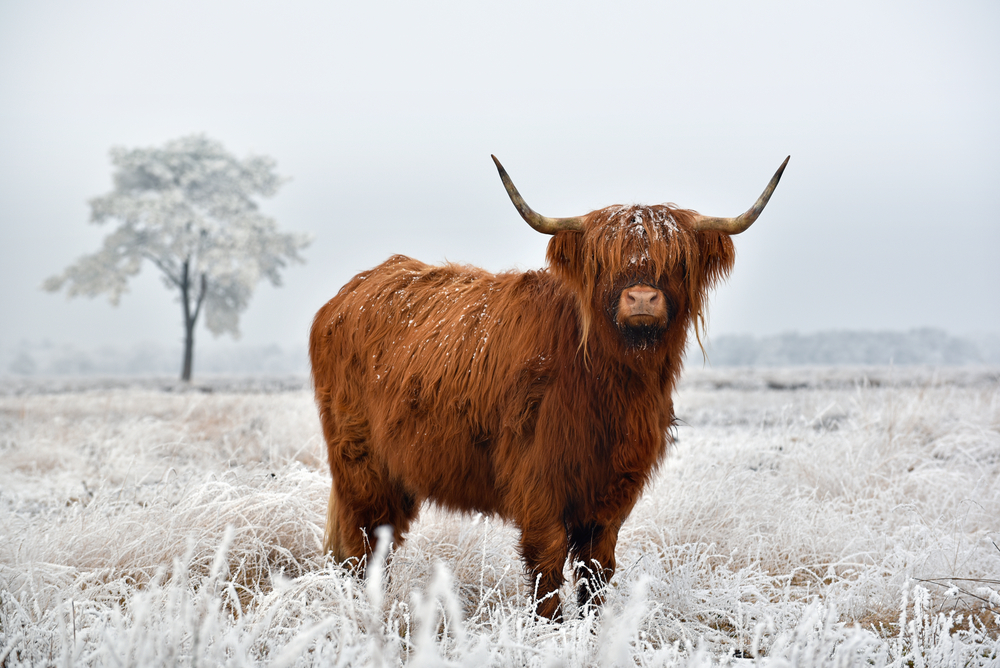 Woolly cow in Scottish Highlands